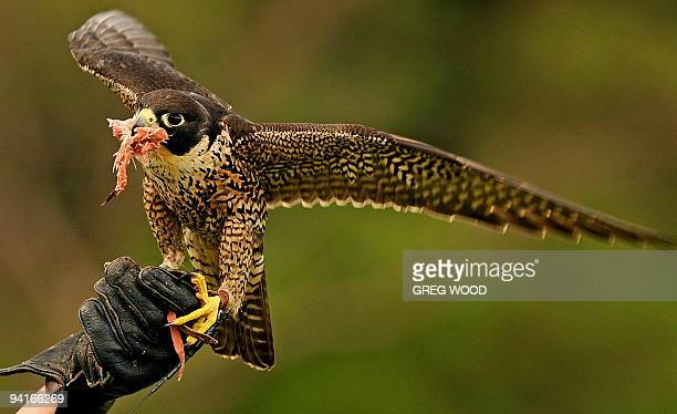 A young male Peregrine Falcon eats meat taken from the protective glove of Taronga Zoo bird trainer Erin Stone following a short flying lesson in...