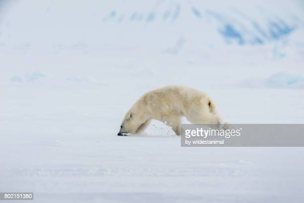 Young male polar bear with his mouth in the snow trying to cool down by eating snow. He was being chased by Inuit hunters to scare him away from their camp, because if he kept coming back they would have needed to take more drastic measures.