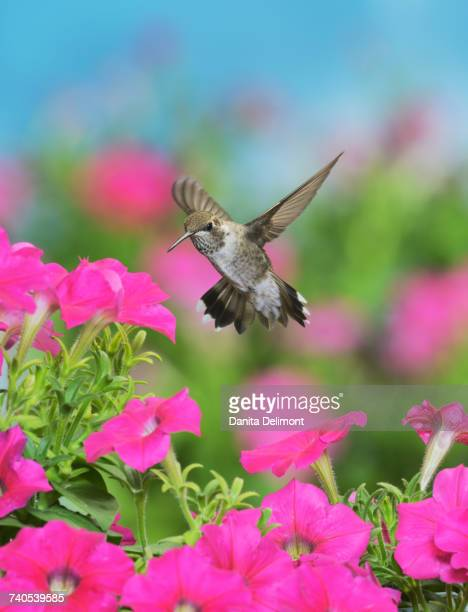 Young male Ruby-throated Hummingbird (Archilochus colubris) flying over Petunia flowers (Petunia exserta), Hill Country, Texas, USA