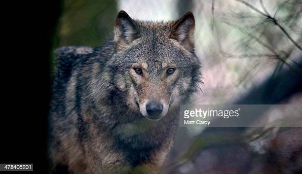A young male wolf one of five that has recently arrived looks out as it explores its new enclosure at The Wild Place Project on March 13 2014 in...