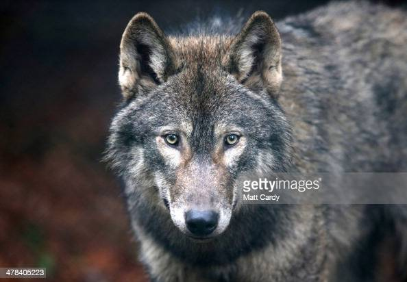 A young male wolf one of five that has recently arrived looks out from its enclosure at The Wild Place Project on March 13 2014 in Bristol England A...