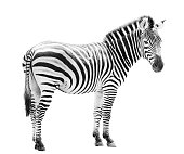 Young male zebra head isolated on white background