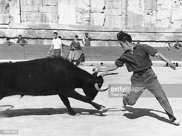 A young man plucks a cockade from between the horns of a charging bull during a bullfight in Spain circa 1960
