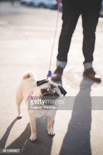 Young man walking dog on street