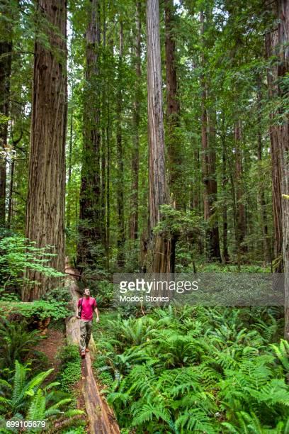 A young man walks along a fallen log in Redwoods National Park, CA.