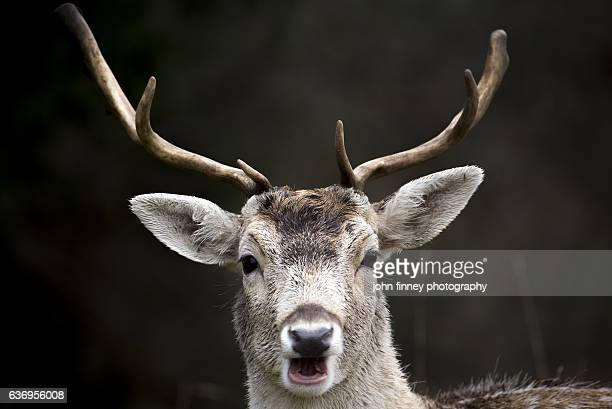 Young Manchurian Sika Deer with Antlers looking stright at the camera with mouth open. English Peak District
