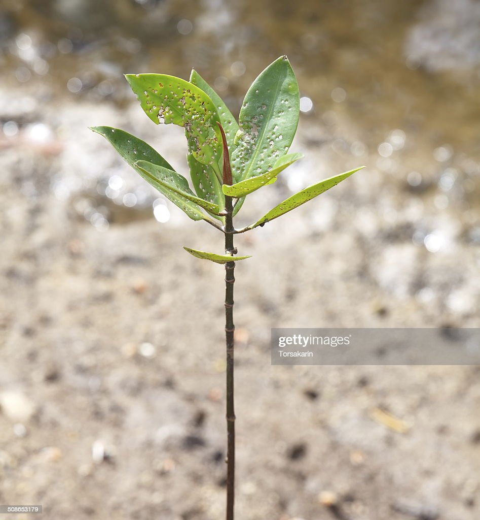 Young mangrove trees growing on the tropical seashore : Stock Photo