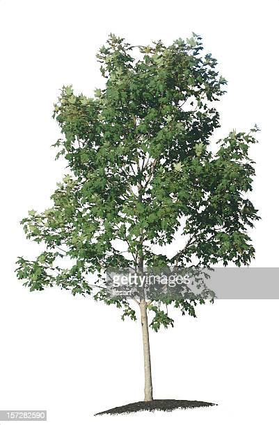 Young Maple Tree on White Background