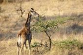 Young Masai giraffe feeding on acacia bush in Serengeti National Park in Tanzania