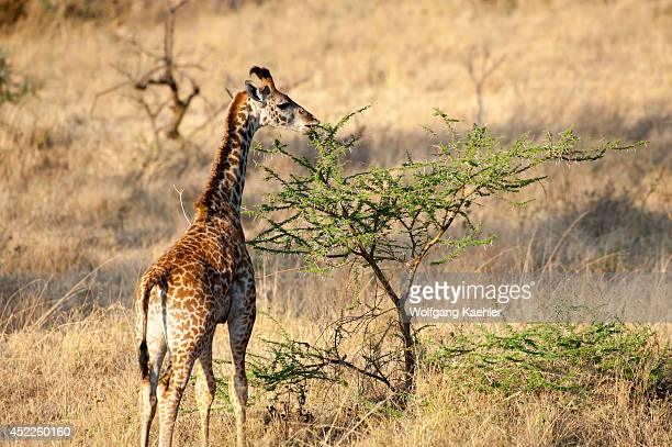 Young Masai giraffe feeding on acacia bush in Serengeti National Park in Tanzania