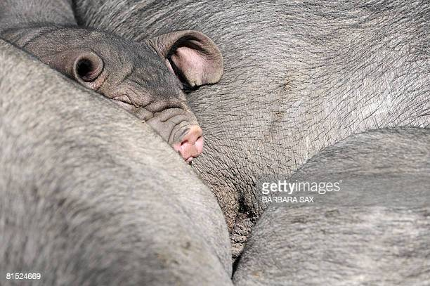 A young Meishan pig takes a nap on some adult ones on June 11 2008 at the Tierpark Friedrichsfelde zoo in Berlin where the piglets were born on May 3...