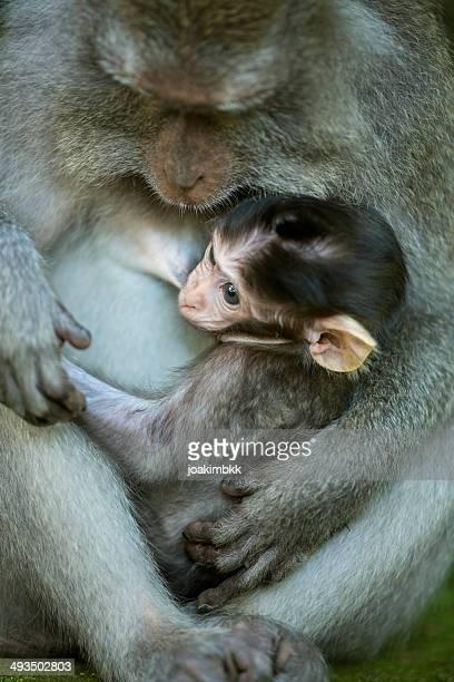 Young monkey breastfeeding