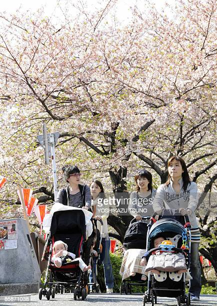 Young mothers push baby carriages to stroll under fully bloomed cherry blossoms on a promenade alongside a river in Tokyo at a sunny spring day on...