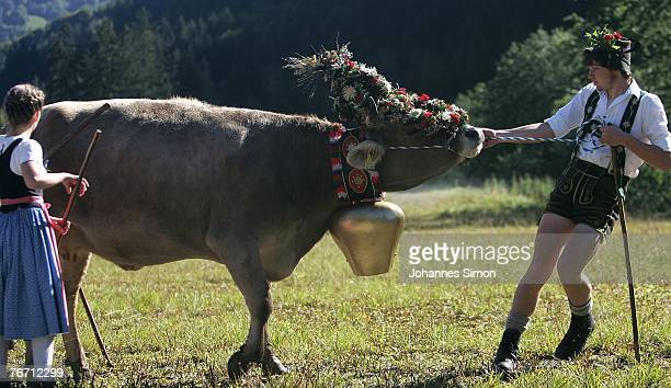 A young mountain farmer drags a sumptuously decorated cow prior to the ceremonial cattle drive on September 13 2007 in Oberstdorf Germany Accompanied...