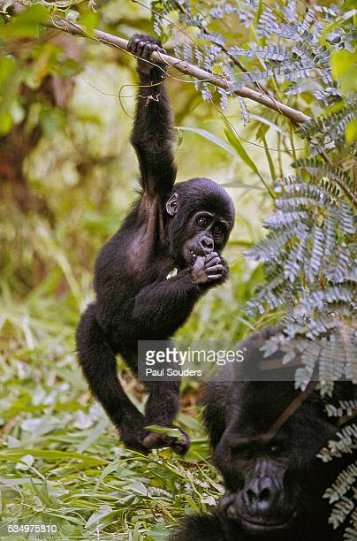 Young Mountain Gorilla Hanging From Branch