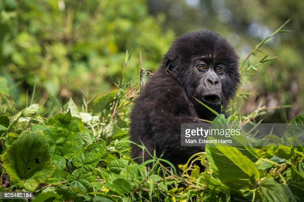 Young Mountain Gorilla, Volcanoes National Park, Rwanda