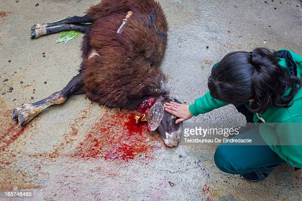CONTENT] A young muslim girl in Gaziantep Turkey showing pity for the sheep that was just ritually slaughtered by her father during the muslim Feast...