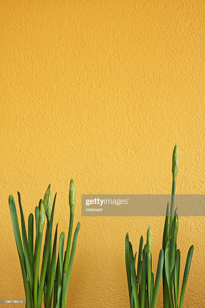 Young Narcissus Flowers Against Yellow Wall : Stock Photo