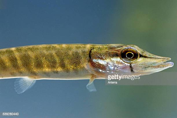 Young northern pike swimming in lake
