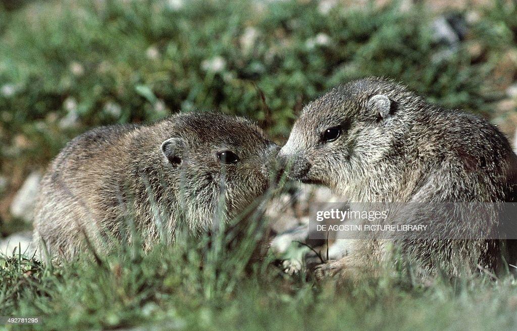 Young of Alpine marmot (Marmota marmota), Sciuridae.