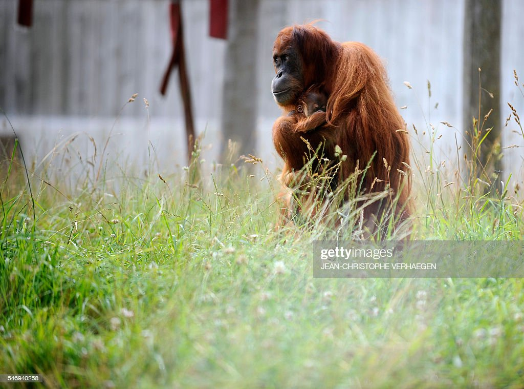 A young orang utan born in May rests on its mother's chest at the zoological park of the eastern French city of Amneville eastern France on July 13...