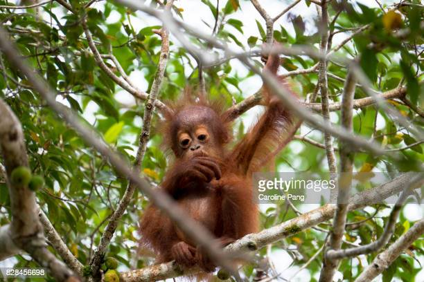 Young Orang Utan pondering on a fig tree.