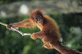 Young Orang-utan (Pongo pygmaeus) hanging on branch, Gunung Leuser National Park, Indonesia