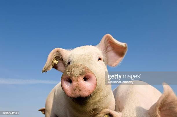 Joven planteado de cerdos al aire libre