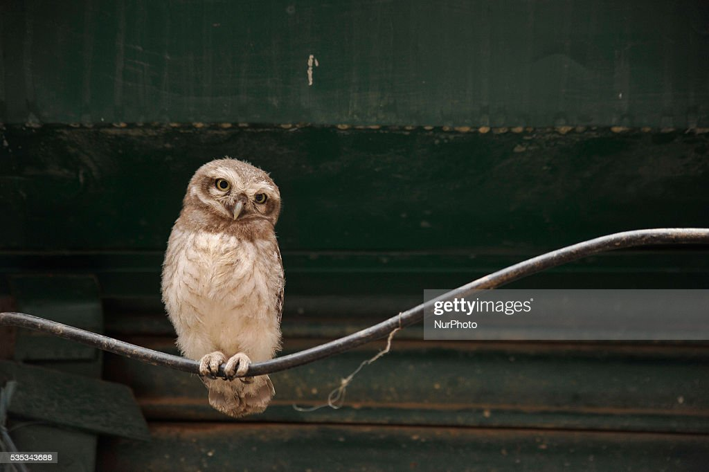 A young owl sits in the cable line wire at Kirtipur, Kathmandu, Nepal on May 29, 2016. Nepal is home to a total of 21 species of owl and four species among them are categorised as endangered. However, none of the species of owl found in Nepal are prioritised in the IUCN Red List 2015. Some species of owl are traded for as much as Rs 300,000 and beyond.