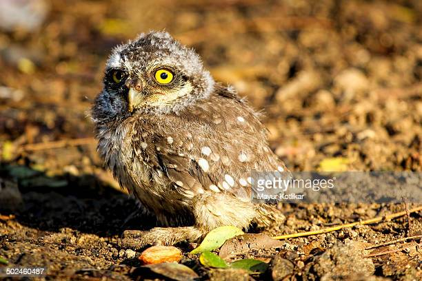 Young Owlet