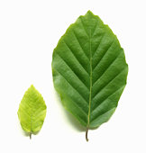 Young pale green beech leaf beside mature beech leaf.