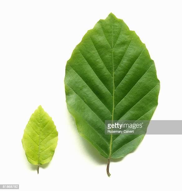 Young pale green beech leaf beside mature beech leaf.