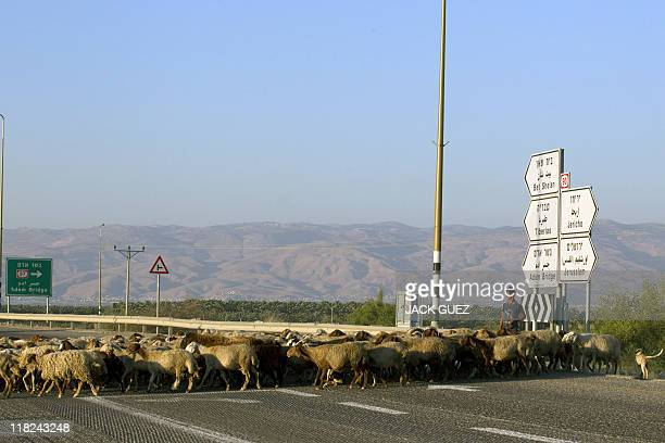 A young Palestinian shepherd her cross the road with his flock on July 5 2011 in the Jordan Valley near the Adam Bridge crossing between Israel the...