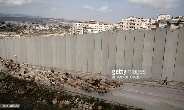 TOPSHOT A young Palestinian shepherd leads his flock in front of Israel's controversial separation barrier near Shufat refugee camp and the...