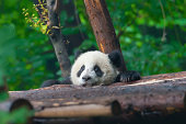 The giant panda bear is considered an endangered species and protected by the World Wildlife Fund.