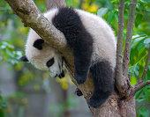 Cute young panda bear resting in tree