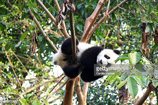 Young panda resting on branch in Chengdu, China