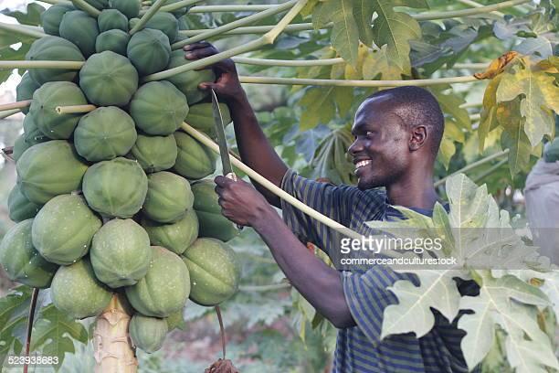 A young peasant picking a papaya
