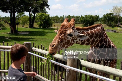 A young people feeding leaves to a giraffe in a zoo