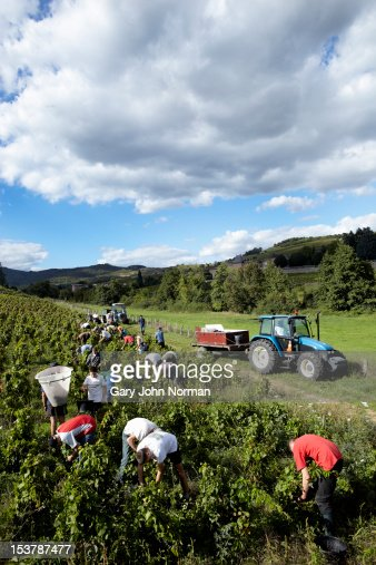 Young people harvesting grapes in France : Stock Photo