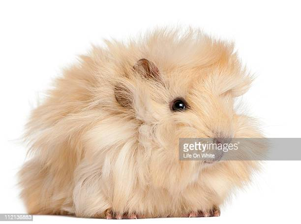 Young Peruvian guinea pig (2 months old)