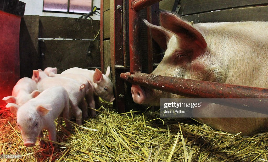 Young pigs are seen in their pen at the Ebsen organic farm on January 13, 2011 in Langenhorn, Germany. Organic foods retailers are reporting a surge in demand following the recent dioxin contamination scandal sparked by the announcement by the German company Harles and Jentzsch that some of the fatty proteins it had supplied to animals feeds producers was tainted with dioxin. German authorities responded by barring 4,700 mostly poultry and hog farms from selling their products until laboratory tests could guarantee them dioxin free. Investigators are meanwhile pursuing a criminal investigation against the leading employees at Harles and Jentzsch. Organic farms have thus far been immune from the scandal since they use no industrially-produced animal feed.