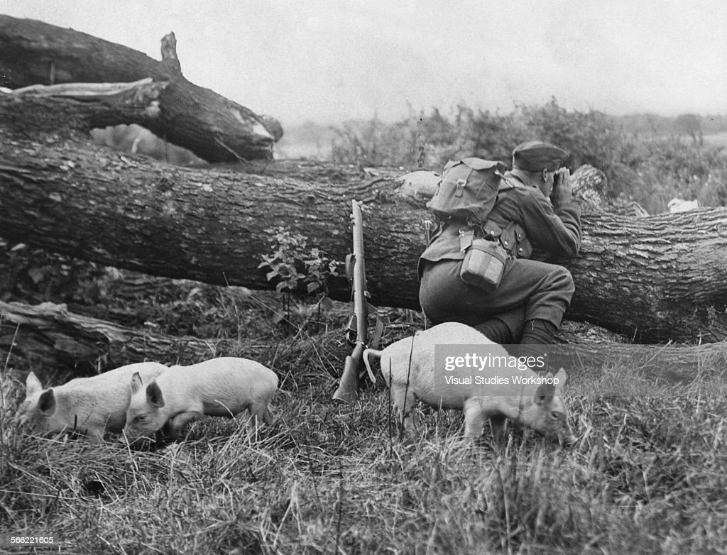 Young pigs from a nearby farm wander around a solider on lookout duty during regular Army maneuvers Stevenage England early to mid 20th century