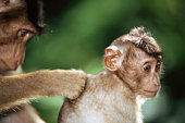 Young pig-tailed macaque (Macaca nemestrina) being groomed by adult
