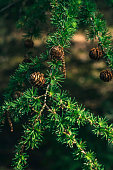 Young pine apples in spring.