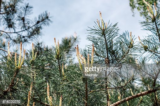 Young pinecones and needles : Stock Photo