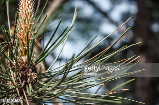 Young pinecones and needles : Stock-Foto