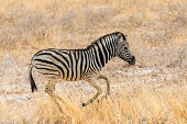 Young Plains Zebra or Burchell's Zebra -Equus quagga burchelli- running through dry grass, Etosha National Park, Namibia