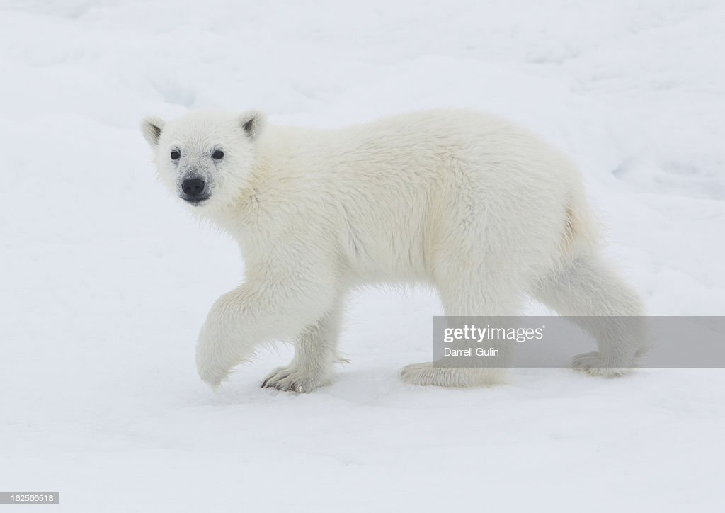 Young Polar Bear Cub on pack ice of Norway