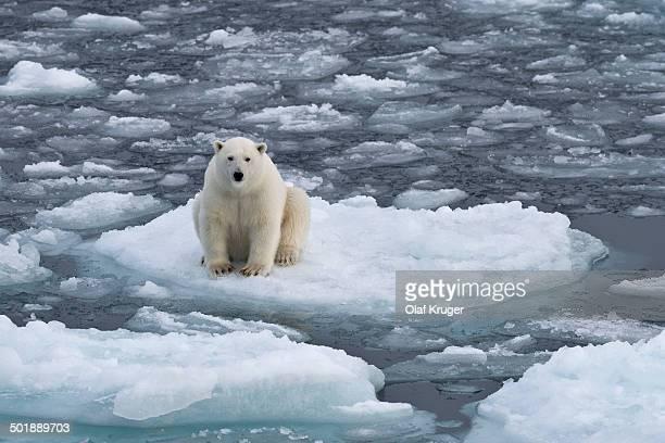 Young polar bear -Ursus maritimus- sitting on an ice floe in pack ice, Spitsbergen, Svalbard Islands, Svalbard and Jan Mayen, Norway
